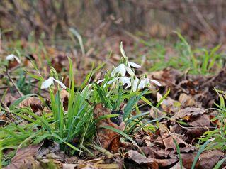 Waldschneeglöckchen #1 - Frühling, Frühjahr, Frühblüher, Zwiebelgewächs, weiß, Schneeglöckchen, Schnee, Winter, Januar, Februar, März, Schneeschmelze, Wald