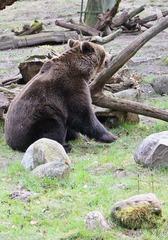 Braunbär - Bär, Braunbär, Raubtier, Pelz, zottelig, braun, Wiese, liegen, ausruhen, Fell, Säugetier, brummen, Natur, Tier, Wildtier, kraftvoll, kräftig, Schnauze, Winterschlaf, Waldtier, wild, Wild, Wildtier