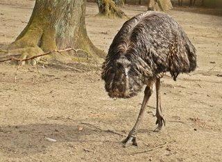 Emu - Laufvogel - Emu, Australien, Vogel, Zoo, Laufvogel, Fleisch, Nutztier, Symbol, flugunfähig, Dromaiidae, Dromaius, Urkiefervögel, Federn, Schnabel