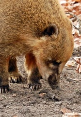 Nasenbär Nahaufnahme - Nasenbär, Raubtier, hundeartig, Nase, Südamerika, tagaktiv, klettern, Kletterer, Kleinbär, Bär, Schnauze, Fell, wild, Wildtier, klein, Rüssel