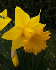 Osterglocke - Narzisse, Narcissus, Osterglocke, Gattung der Amaryllisgewächse, einkeimblättrig, gelb, Zwiebelgewächs, Schnittblume, blühen, Blüte, Ostern, Frühjahr, Frühling, Frühblüher