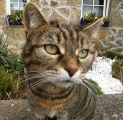 Katze#3 - Katze, Hauskatze, Haustier, Pose, posieren, sitzen, Katzenaugen