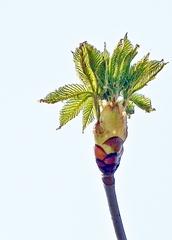 Kastanie - Kastanie, Rosskastanie, Baum, Blätter, Blüten, Blütenansatz, weiß, grün, Laub, Laubbaum, Frühling, blühen, aufbrechen, Detail, klebrig, Hüllblatt, Blattknospe, Trieb, Blatt, Spross, Jungtrieb, Blütentrieb, Zweig