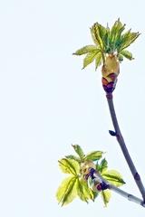 Kastanienzweig - Kastanie, Rosskastanie, Baum, Blätter, Blüten, Blütenansatz, weiß, grün, Laub, Laubbaum, Frühling, blühen, aufbrechen, Detail, klebrig, Hüllblatt, Blattknospe, Trieb, Blatt, Spross, Jungtrieb, Blütentrieb, Zweig
