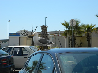 Möwe auf Autodach#1 - Möwe, Auto, Dach, Vogel
