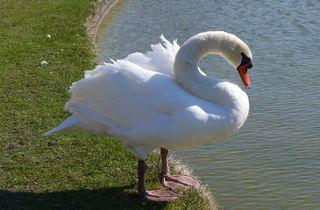 Schwan - Schwan, schwimmen, Vogel, weiß, Federn, Wasser, Wasservogel