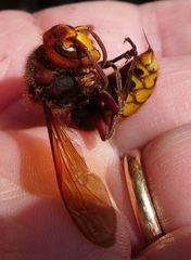 Hornisse #1 - Hornisse, Insekt, Insekten, fliegen, Hautflügler, Faltenwespe, Wespe, Stachel, Vespa crabro, Hornissenstachel, Ocellen, Stirnocellen