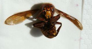 Hornisse #2 - Hornisse, Insekt, Insekten, fliegen, Hautflügler, Faltenwespe, Wespe, Stachel, Vespa crabro, Hornissenstachel, Ocellen, Stirnocellen