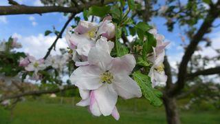 Apfelblüte #1 - Nutzpflanze, Garten, Gartenbau, Frühling, Apfel, Apfelblüte, Knospe, Blüte, Blütenblatt, Kronblatt, Staubblatt, fünf