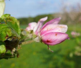 Apfelblüte #2 - Nutzpflanze, Garten, Gartenbau, Frühling, Apfel, Apfelblüte, Knospe, Blüte, Blütenblatt, Kronblatt, Staubblatt, fünf