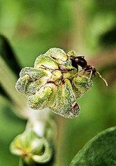 Ameise auf Sonnenblumenknospe - Ameise, Ameisen, Hautflügler, Arbeiter, Gliedertier, NaWi, Lebewesen, Ameise, Insekt, Anlaut A, staatenbildend