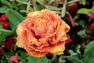 Tulpenblüte voll aufgeblüht - Frühling, Frühjahr, Frühblüher, Tulpe, Blüte, Zwiebelgewächs, Meditation, Schreibanlass, orange