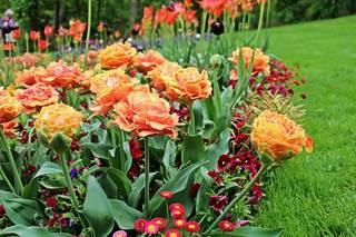 Frühblüher einer Ausstellung - Frühling, Frühjahr, Frühblüher, Tulpe, Blüte, Zwiebelgewächs, Tulipa, Liliengewächs, Zwiebelblume, Schnittblume, Blüte, rot, orange