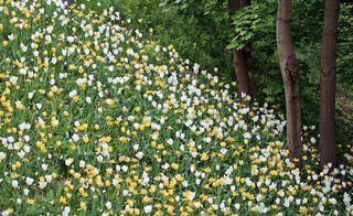 Tulpenhang im Frühling - Tulpe, Tulpen, Tulipa, Liliengewächs, Zwiebelblume, Schnittblume, Blüte, Frühling, Frühjahr, Frühblüher, Schreibanlass, gelb weiß, viele, blühen