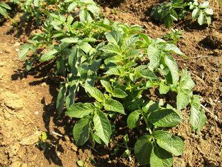 Saatkartoffeln#3 - Kartoffel, Erdapfel, Grummbeere, Nachtschatten, Nachtschattengewächs, Nutzpflanze, Solanum tuberosum, Grundnahrungsmittel, Kartoffelpflanze