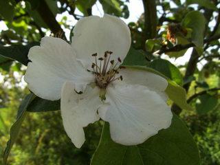 Blüte einer Quitte#1 - Quitte, Obst, Frucht, Marmelade, Kernobst, Blüte
