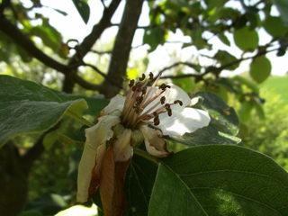 Blüte einer Quitte#2 - Quitte, Obst, Frucht, Marmelade, Kernobst, Blüte, verwelkt