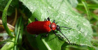 Scharlachroter Feuerkäfer #1 - Pyrochroa coccinea, Feuerkäfer, Käfer, scharlachrot, Flügeldecken, rot
