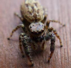 Springspinne #2 - Insekt, Spinne, Springspinne, Mauer-Hüpfspinne, salticus cingulatus, platycryptus undatus