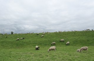 Elbdeich - Schafhutung - Deich, Hochwasserschutz, Hutung, Schaf, Gras