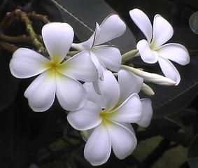 Leelawadee-Blüten - Pflanze, Blüten, Leelawadee, Frangipani, Duftblüten, weiß