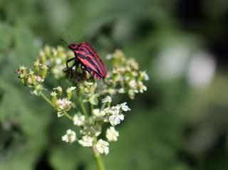 Streifenwanze auf der Doldenblüte - Wanze, Blattwanze, Baumwanze, Schnabelkerfe, schildförmig, Insekt, Fühler, Gliedertier, oval
