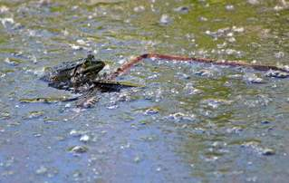 Moorfrosch - Kröte, Frosch, wechselwarme Tiere, Amphibie, wechselwarm, hüpfen, feucht, glitschig, Froschlurch, erdfarben, Märchen, Feuchtraumgebiet, Teich, Umweltschutz, Tarnung, Tier, Moor, bedrohte Art