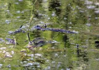 Moorfrosch im Wasser - Kröte, Frosch, wechselwarme Tiere, Amphibie, wechselwarm, hüpfen, feucht, glitschig, Froschlurch, erdfarben, Märchen, Feuchtraumgebiet, Teich, Umweltschutz, Tarnung, Tier, Moor, bedrohte Art