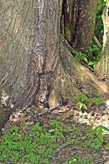 Wurzel der Ulme - Ulme, Borke, Rinde, Stamm, Ulmensterben, Baum Laubbaum, Wurzel, Waldboden