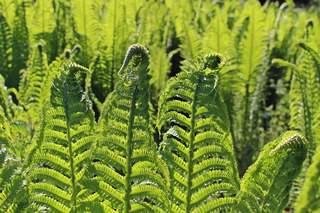 Farnspitzen - Farn, Farnkraut, grün, Natur, Feuchtgebiet, Gefäßsporenpflanze, Wald, Sporen, Blätter, Garten, Wedel