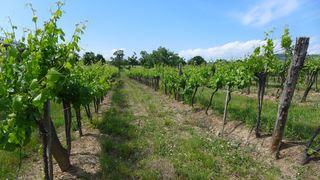 Weinstock - Wein, Landwirtschaft, Weinbau, Trauben, Weinstock