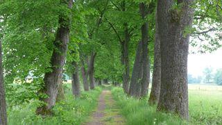 Lindenallee - Allee, Linden, Baum, Bäume, Stamm, Stämme, alt, Weg, Perspektive, Fluchtpunkt, spazieren, Ruhe, Sonne, Licht, Schatten, Symmetrie, symmetrisch, grün