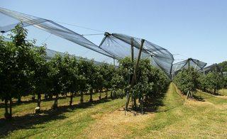 Obstbau#1 - Obstbau, Obstanbau, Obstplantage, Birnen, Anbau, Freiland, Obstanlage, Netz, Schutz, Vögel, Schädlinge