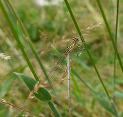 Federlibelle #1 - Libelle, Federlibelle, Zygoptera, Kleinlibelle