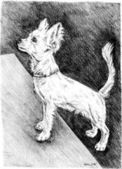 Chihuahua - Krümel - Chihuahua, Hund, Haustier, Tier
