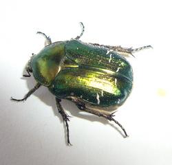 Rosenkäfer - Käfer, grün, schillernd, Insekt, glänzen