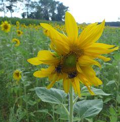 Sonnenblume #2 - Sonnenblume, Blume, Spätsommer, Herbst, Korbblütler, Blüte
