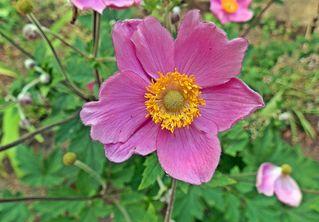 Blüte der Cosmea - Blume, rosa, pink, Cosmea, Schmuckkörbchen, Zierpflanze, einjährig, Blüte, Sommer, Pflanze, Schmuckkörbchen, Cosmos, Cosmee, Kosmee, Korbblütler, Schnittblume, Gartenpflanze, Staude