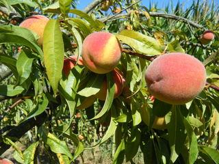 Pfirsich - Pfirsich, Blätter, Frucht, Steinobst