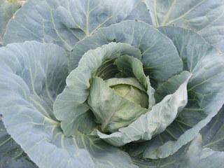 Weißkohl - Weißkraut, Kappes, Kaps, Kabis, Kraut, Gemüse, Vitamin, antibiotisch, Herstellung Sauerkraut, Krautkopf