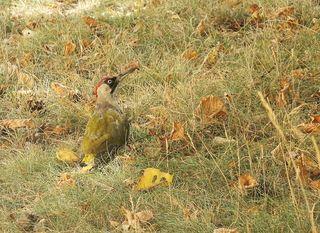 Grünspecht - Vogel, Specht, Grünspecht, Boden, picken, Futter, suchen, Gartenvogel, Sommer, Specht, Grünspecht, Grasspecht, Erdspecht, trocken