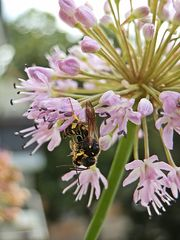 Labsal auf der Schnittlauchblüte - Blüte, Schnittlauch, Schnittlauchblüten, Graslauch, Binsenlauch, Brislauch, Jakobszwiebel, Schnittling, Lauchgewächs, Würzkraut, Wespe Insekt, Blattwespe, fressen