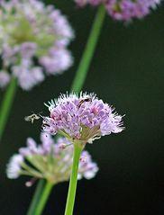 Insektenanflug an eine Schnittlauchblüte - Blüte, Insekten, fliegen, Blüte, Schnittlauch, Schnittlauchblüten, Graslauch, Binsenlauch, Brislauch, Jakobszwiebel, Schnittling, Lauchgewächs, Würzkraut, Wespe Insekt, Blattwespe, fressen