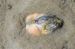 Herzmuschel - Muschel, Muschelschale, Schale, Strand, Sand, Nordsee