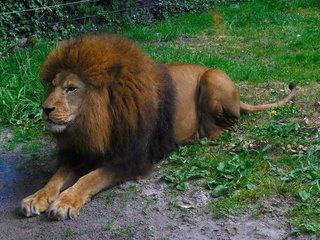 Löwe - Löwe, Katze, Säugetier, Männchen, männlich, Mähne, Anlaut L