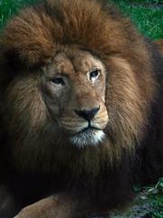 Löwenkopf - Löwe, Raubtier, Katze, Säugetier, männlich, Männchen, Fleischfresser, Mähne, Anlaut L