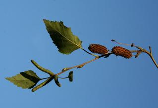 Birkensamen - Betula, Heilpflanze, Weißbirke, Zweig, Blatt, Birke, Samen, Laubbaum