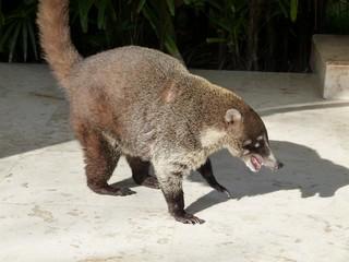 Nasenbär - Bären, Nasenbär, Rüsselbär, Mittelamerika, Südamerika, Tiere, Säugetier