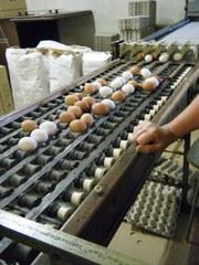 Hühnerhof #1 - Hühnerhof, Eier, Laufband, Förderband, Gewicht, Güteklasse, sortieren, Transport