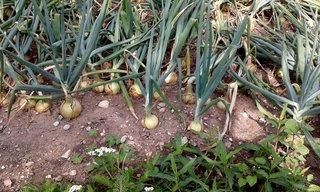 Zwiebeln auf dem Feld # 2 - Zwiebel, Gemüse, Speisezwiebel, Lilienähnliche, Spargelartige, Zwiebellauch, Bolle, Küchenzwiebel, Gartenzwiebel, Sommerzwiebel, Hauszwiebel, Gemeine Zwiebel